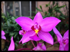 Orchid Amritapuri
