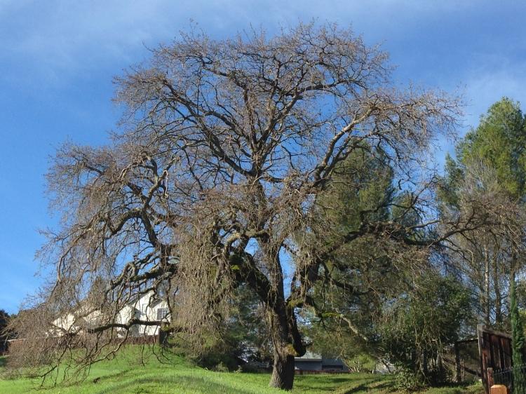 Grandma Oak Tree