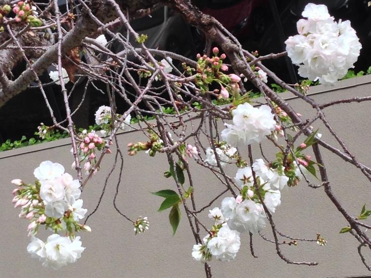 WPC Fresh - Spring Danville