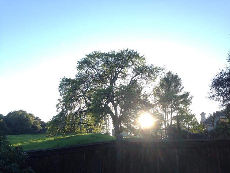 Oak Tree_Sun