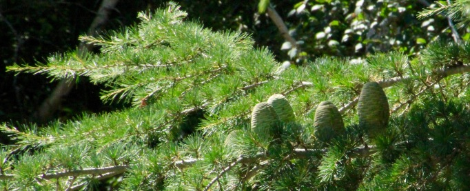 Pine cones outside my kitchen window