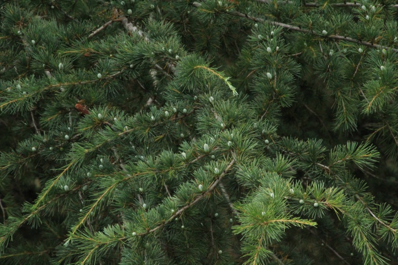 Pine Cones Next Generation