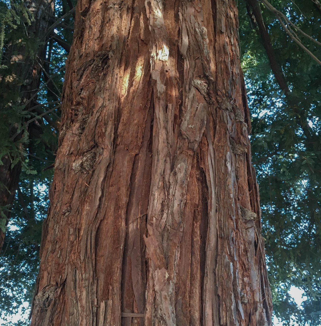 Redwood Trunk1