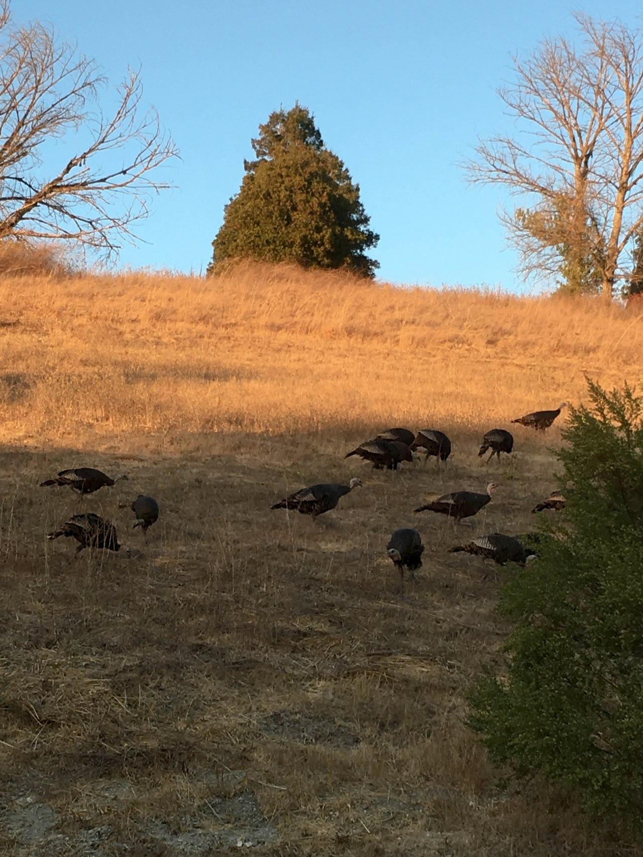 turkeys-1
