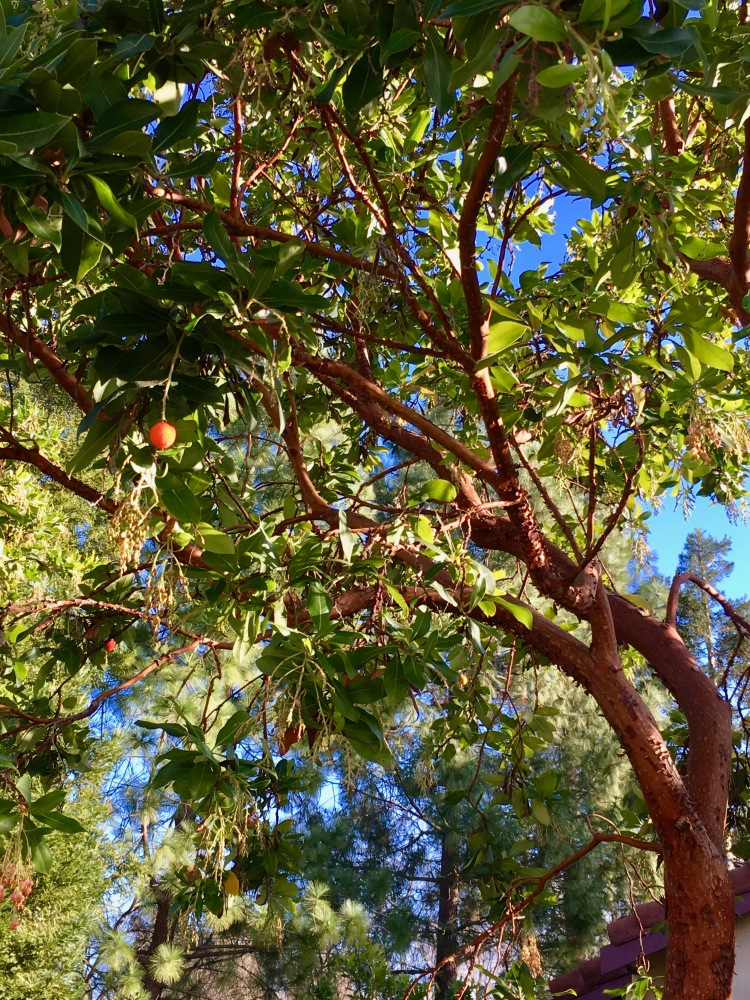Madrone with berries