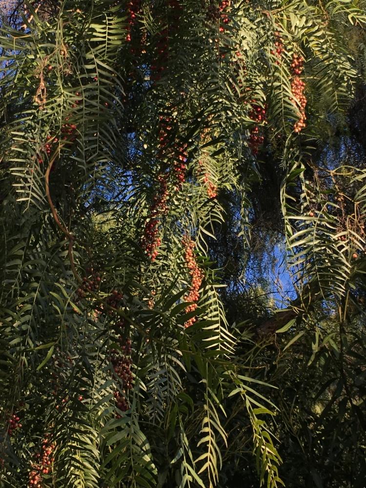 pepper-tree-fruit