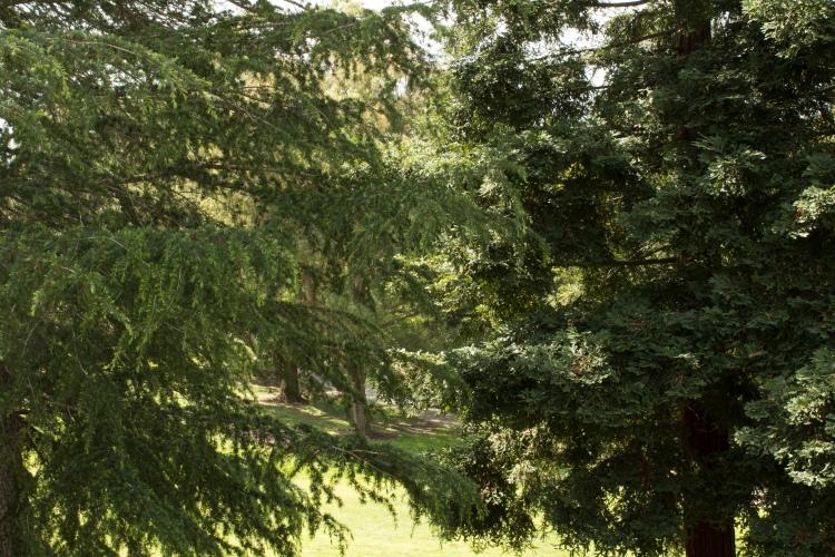 Redwood-Pine-1365
