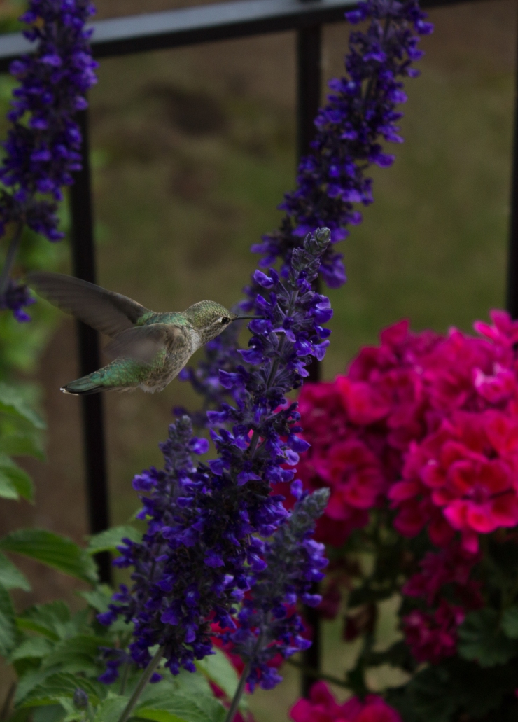 Hummingbird Salvia-1409