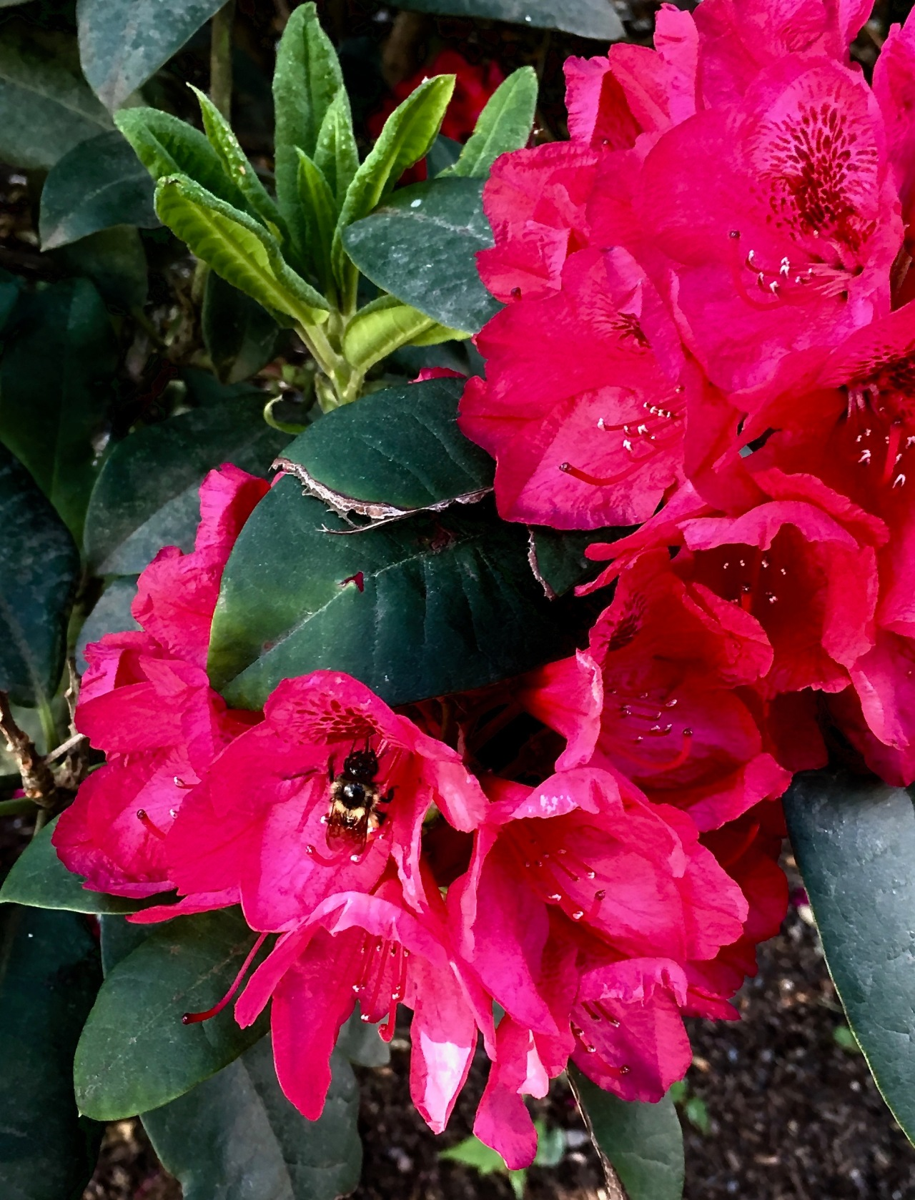 Rhododendron -Bumblebee 2