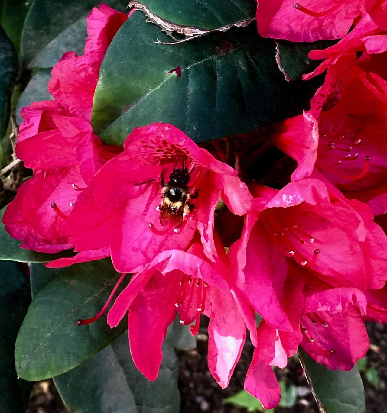 Rhododendron -Bumblebee