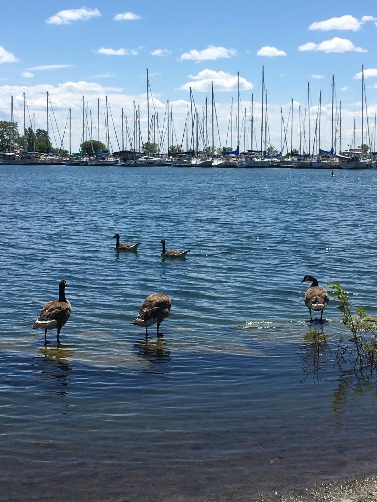 Geese-Lake Ontario