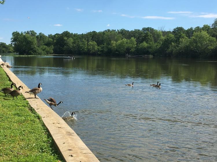 Geese_Bath time