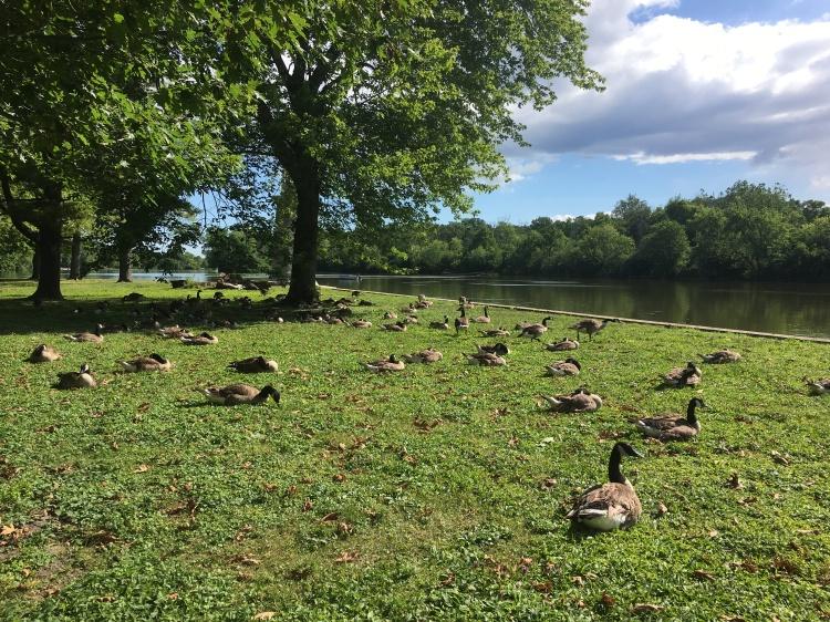 Geese_meditation