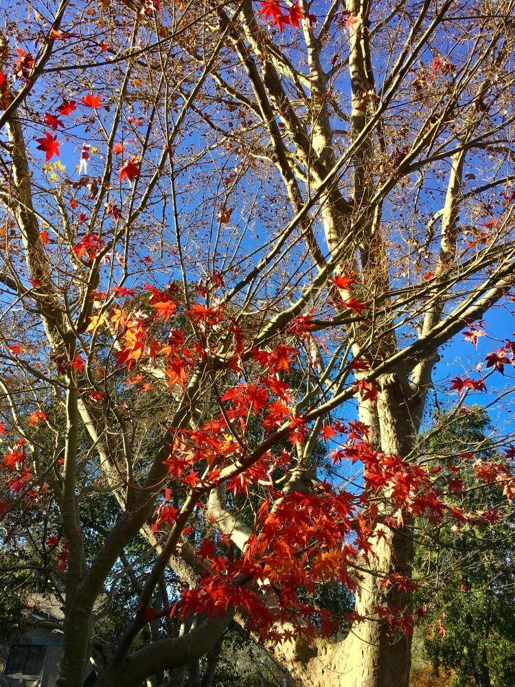Maple Early Winter-4267