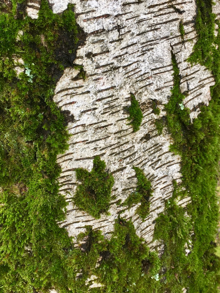 Moss on White Bark IMG_4340