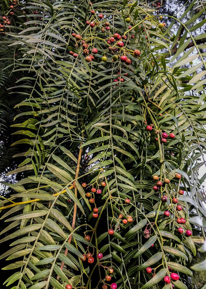 Pepper Tree-4553-2