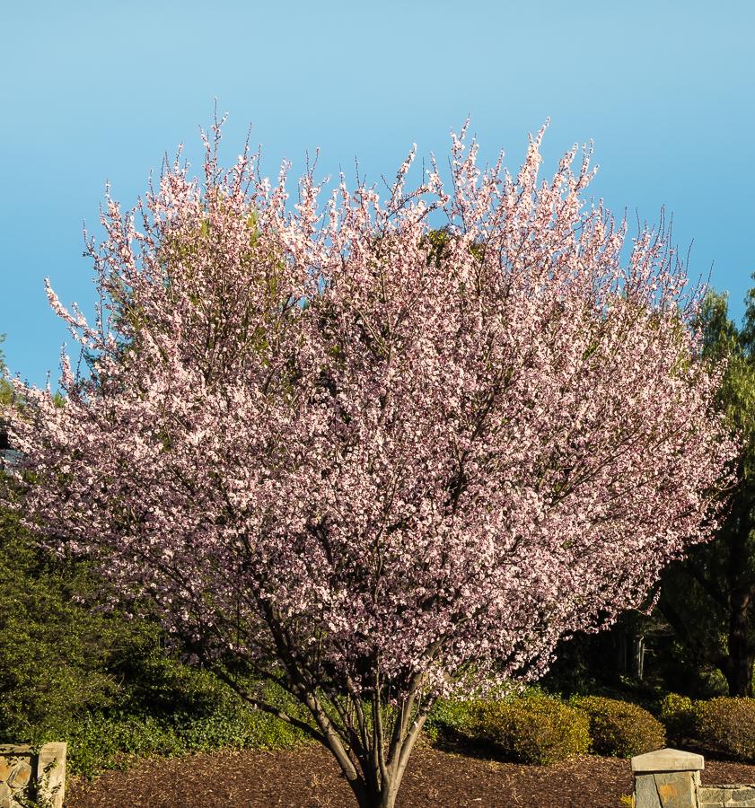 Plum Tree-0613