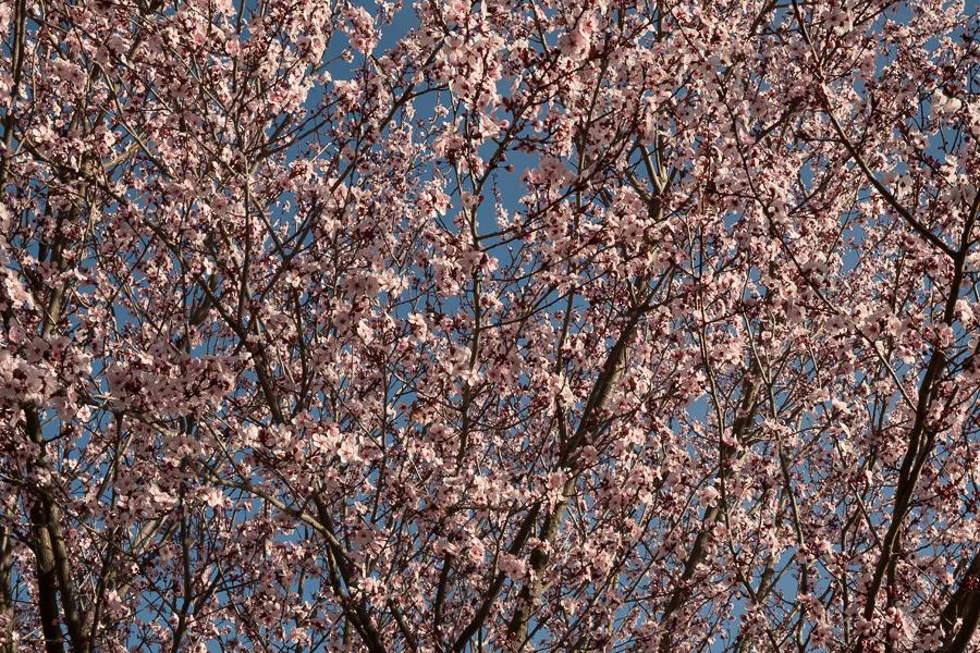 Plum Tree-0614