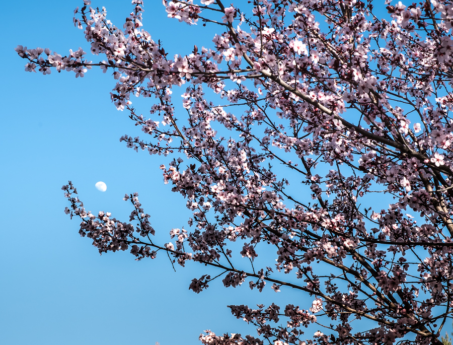 Plum Tree-0621