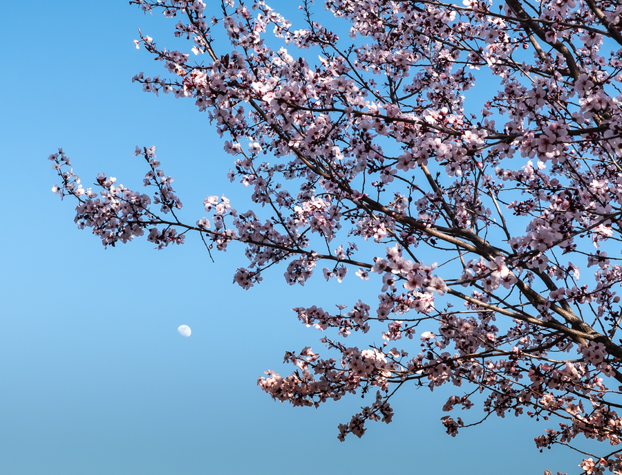 Plum Tree-0624
