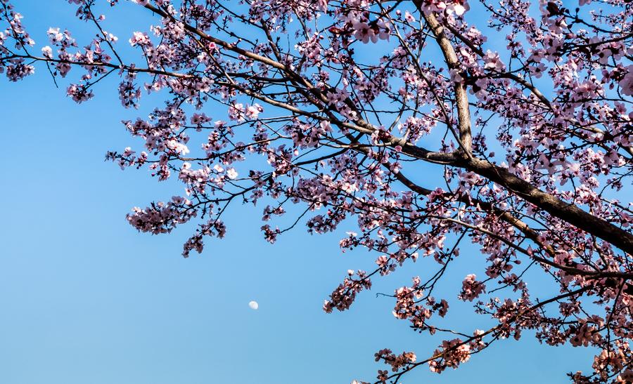 Plum Tree-0626