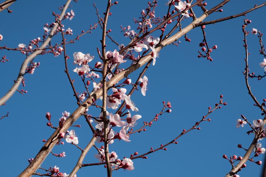 Plum Tree-0651
