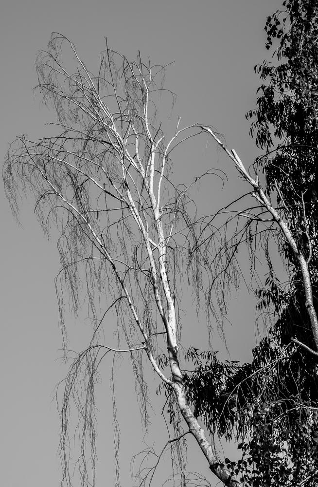 Tree 246 CWW BW-0899