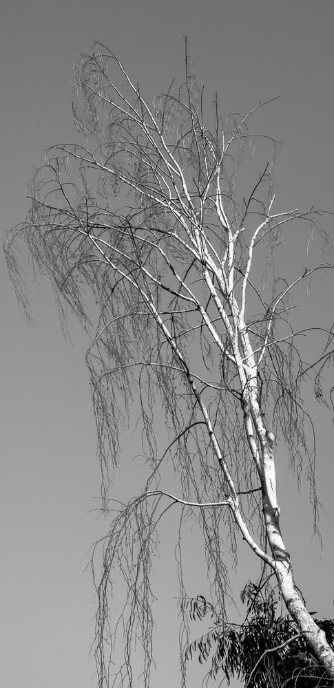 Tree 246 CWW BW-0901
