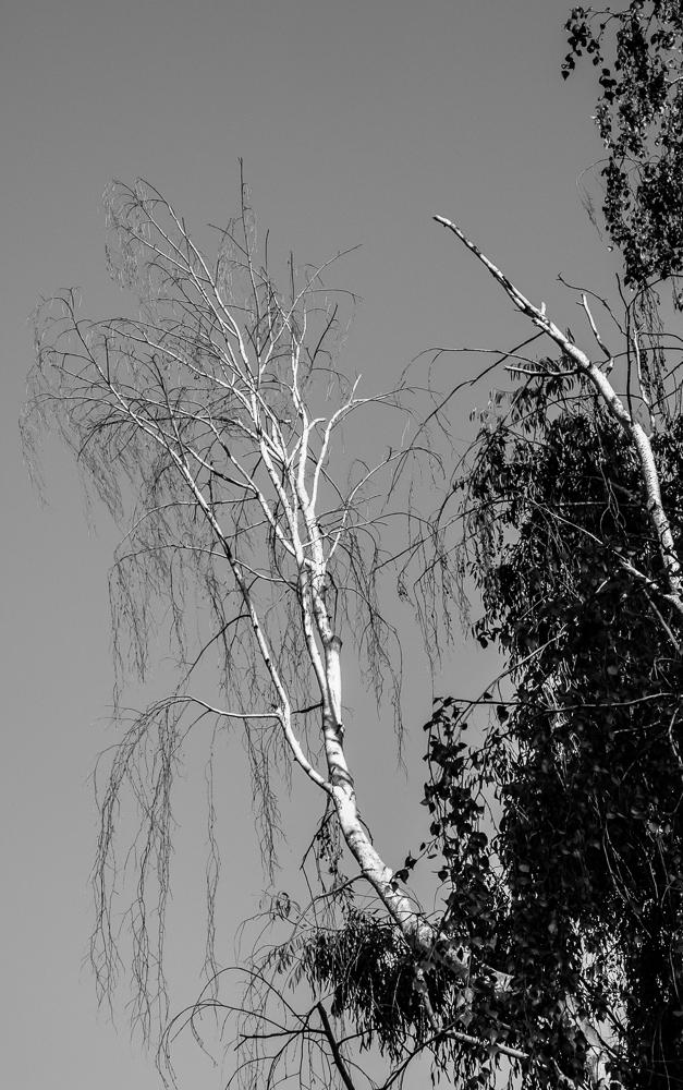 Tree 246 CWW BW-0905