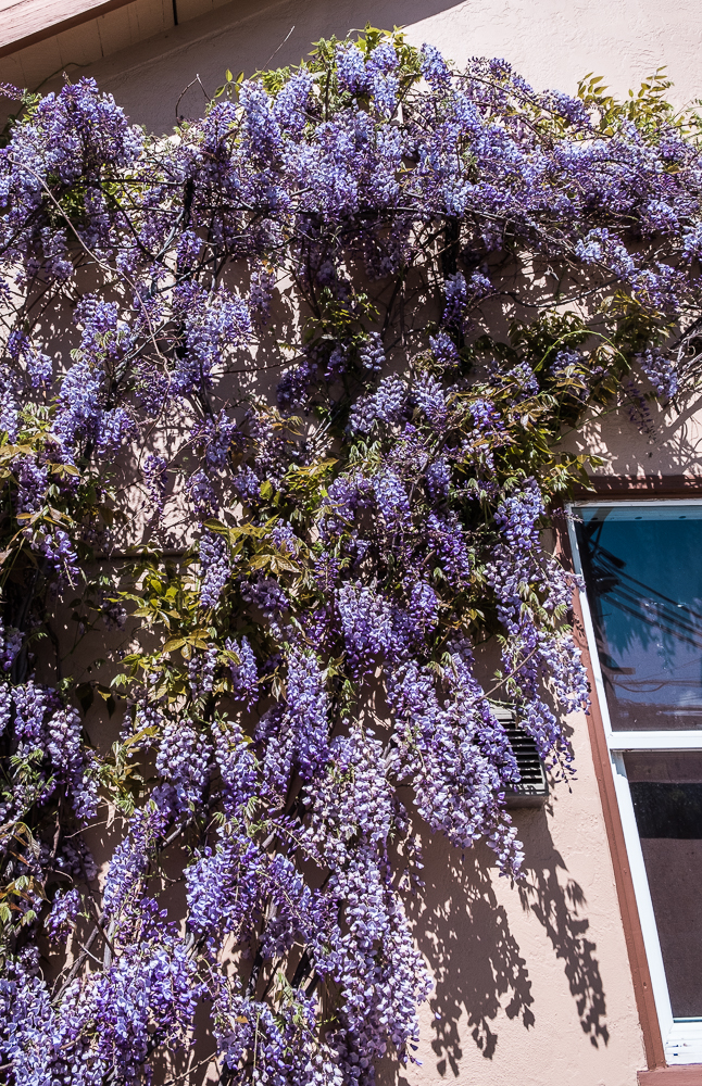 Wisteria Full Berkeley-0868