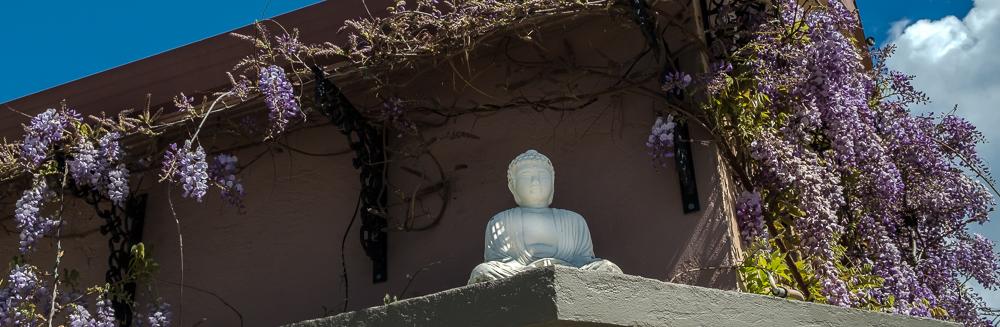 Wisteria w-Buddha Berkeley-0865