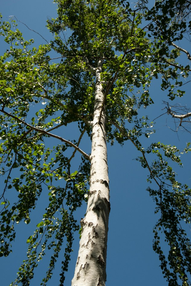 Celebrating Birch trees-1135