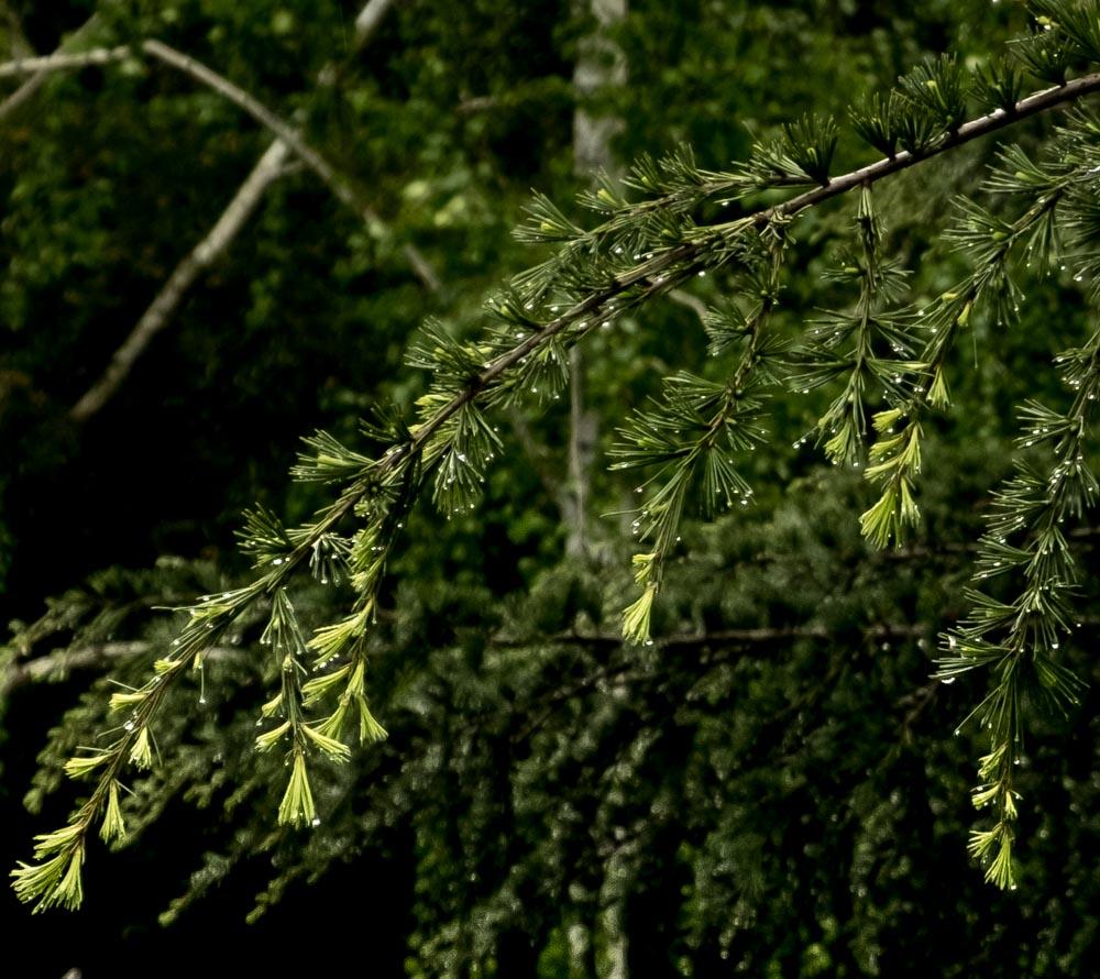 Pine branch-1044