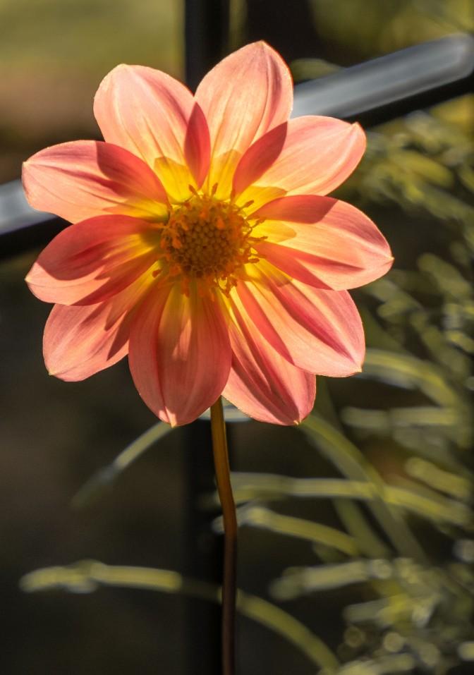 Luminous - Dahlia pequeña