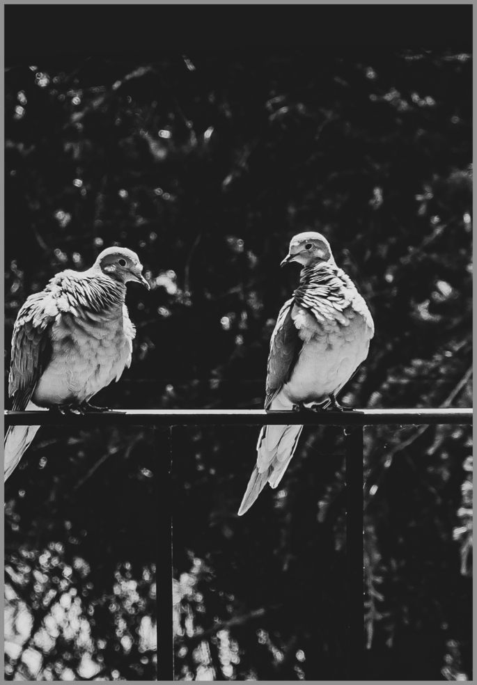 Mourning doves 1