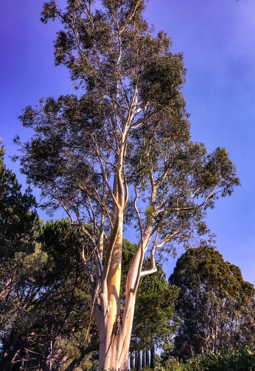 Eucalyptus -5154