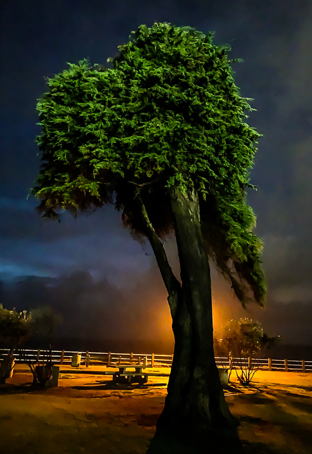 Lorax tree - the Cove, La Jolla-6239