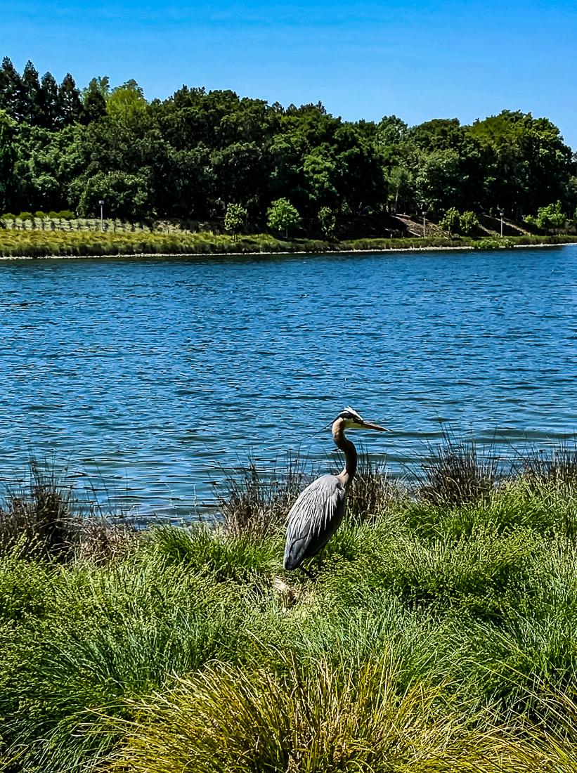 Blue Heron BR lake - SR-6721-2