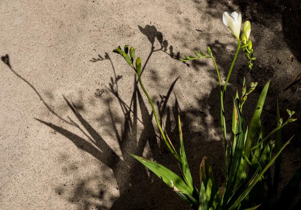 Freesia shadows-4374