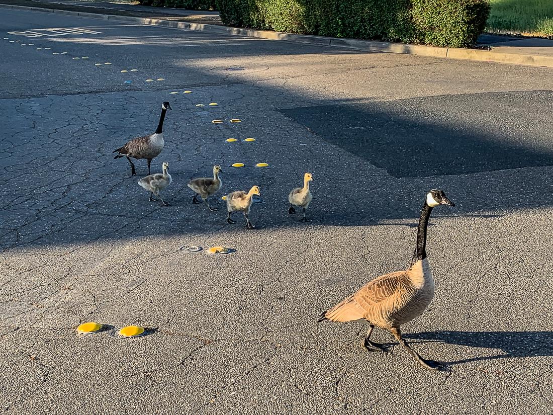 Geese crossing street-6667