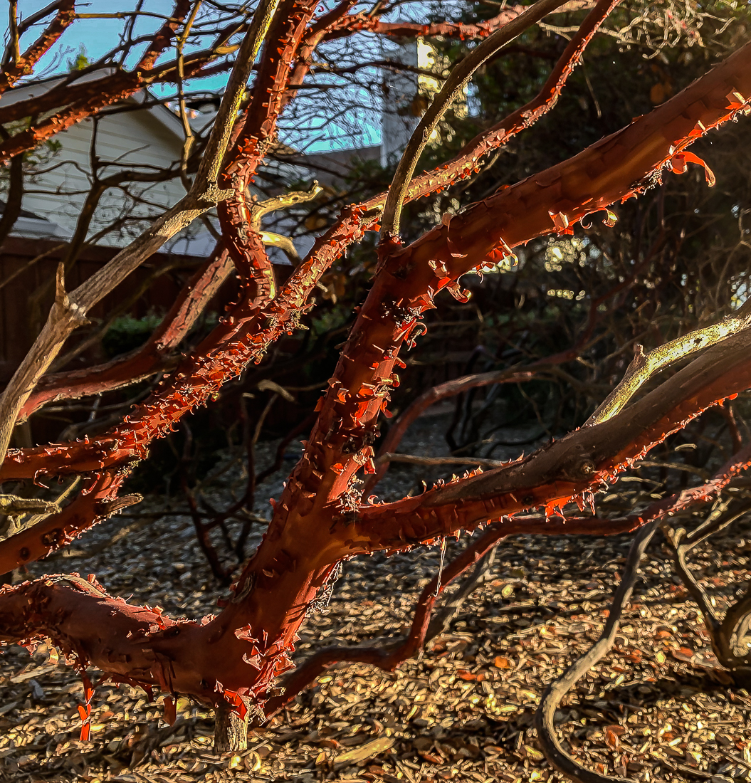 Manzanita morning glow