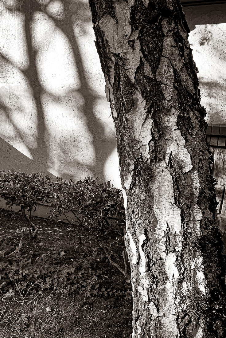 Monochrome Mondays: White Birch