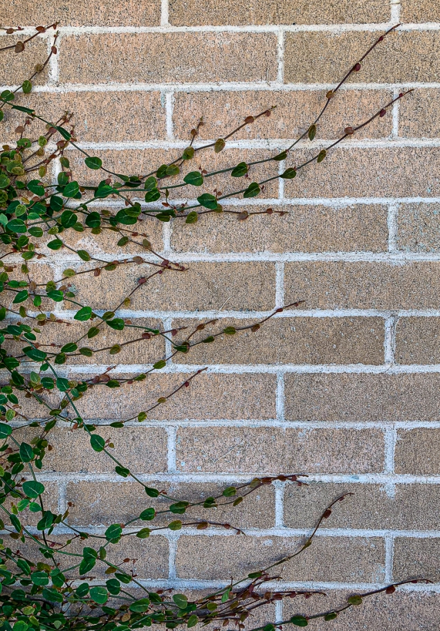 Vine on brick wall-7268-2