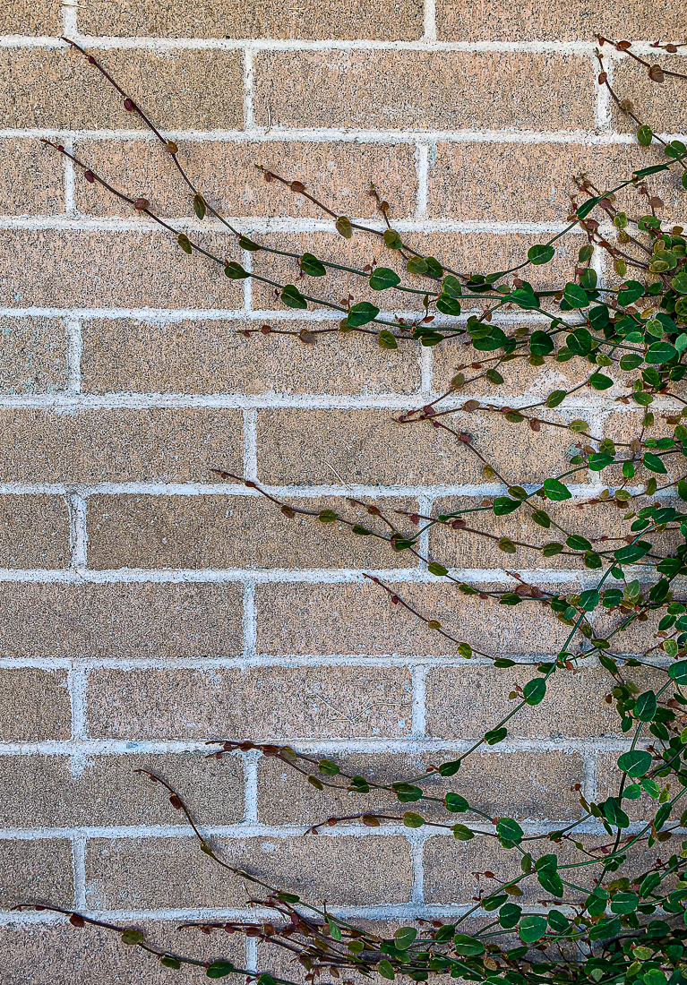 Vine on brick wall-7268