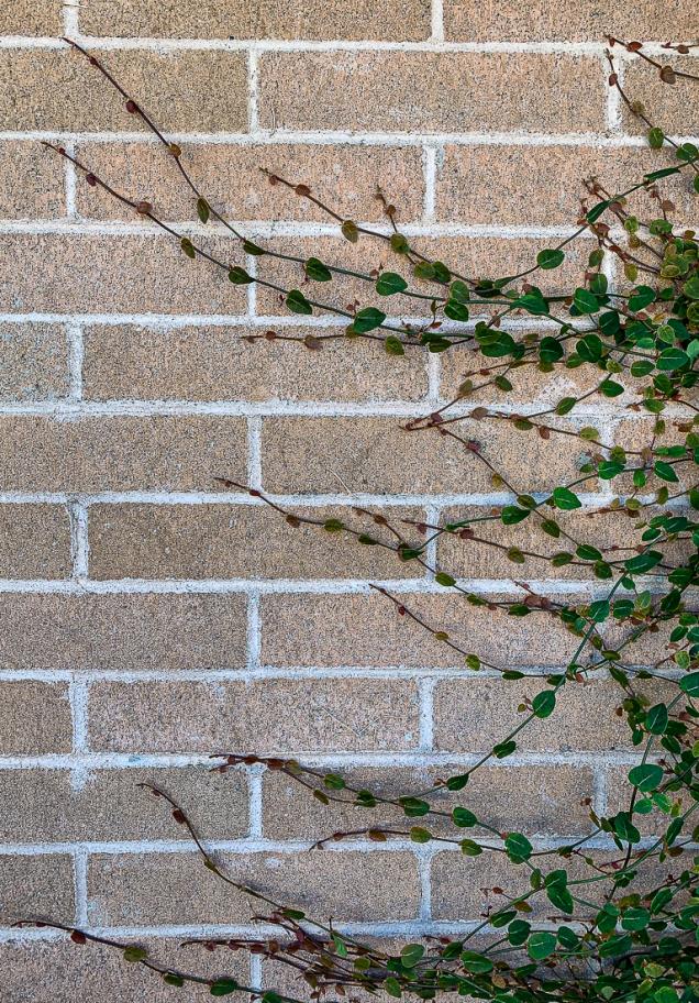 Vine on brick wall-7268