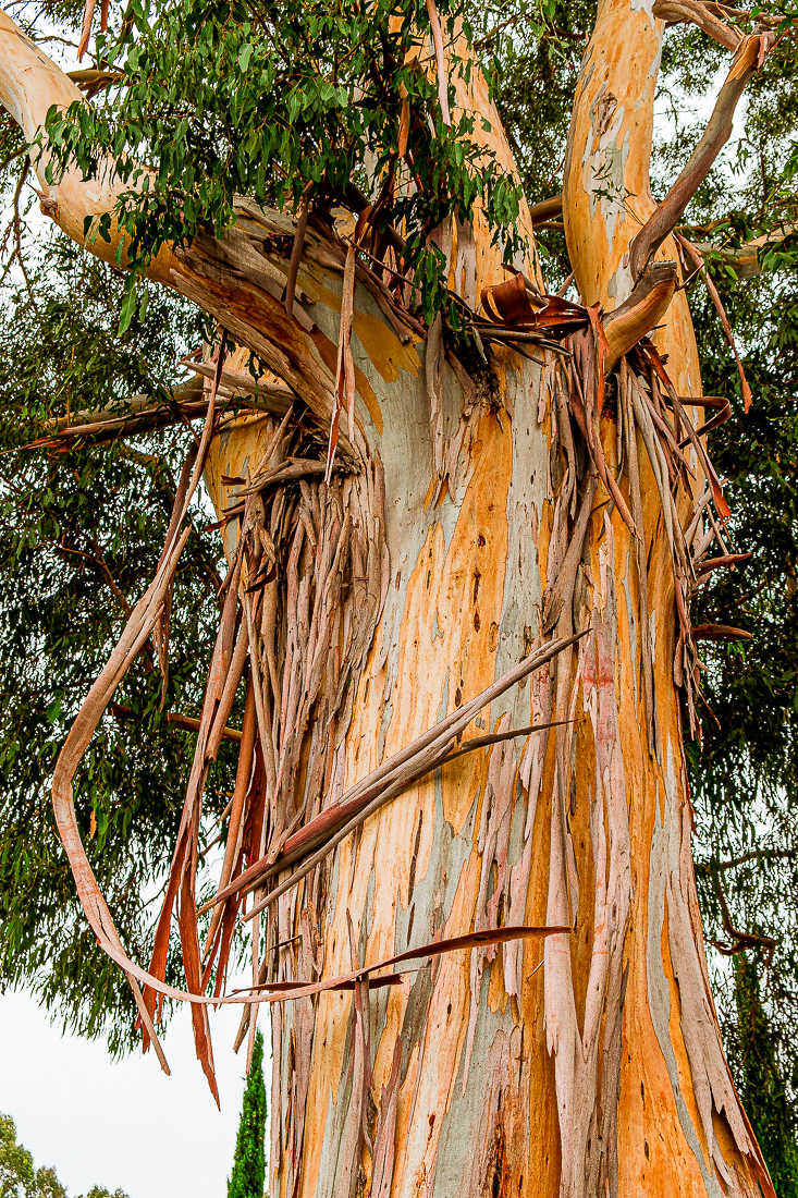 Eucalyptus tree - pushing colors-4980