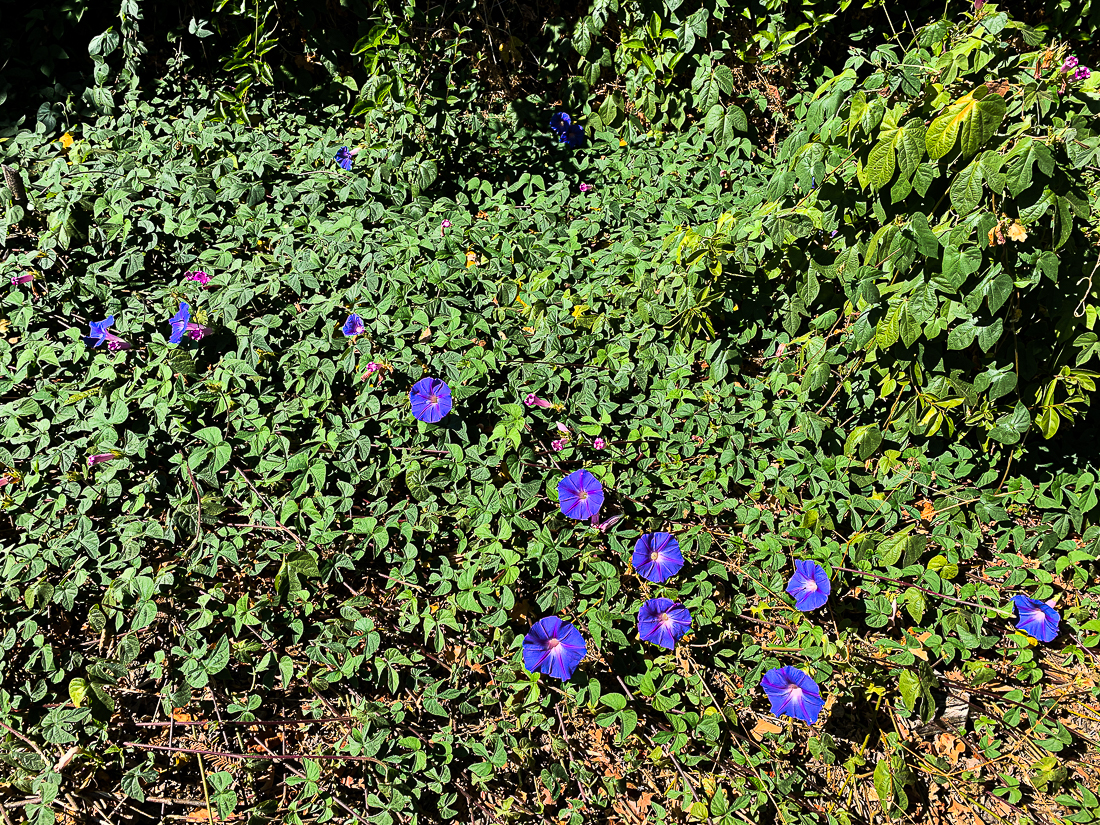 Morning glories-7320