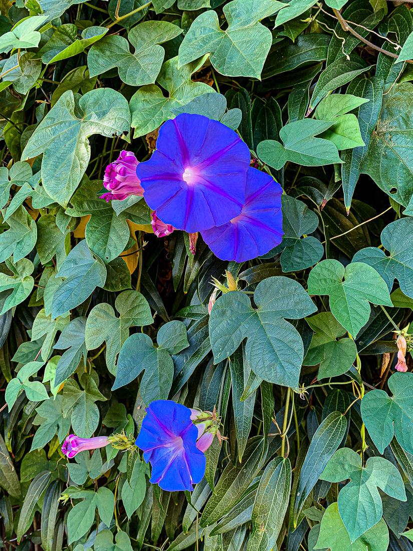 Morning glories-7326