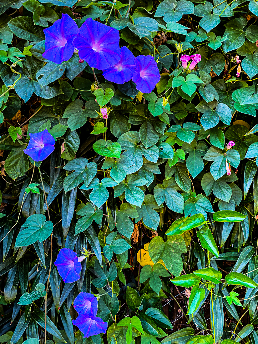 Morning glories-7333
