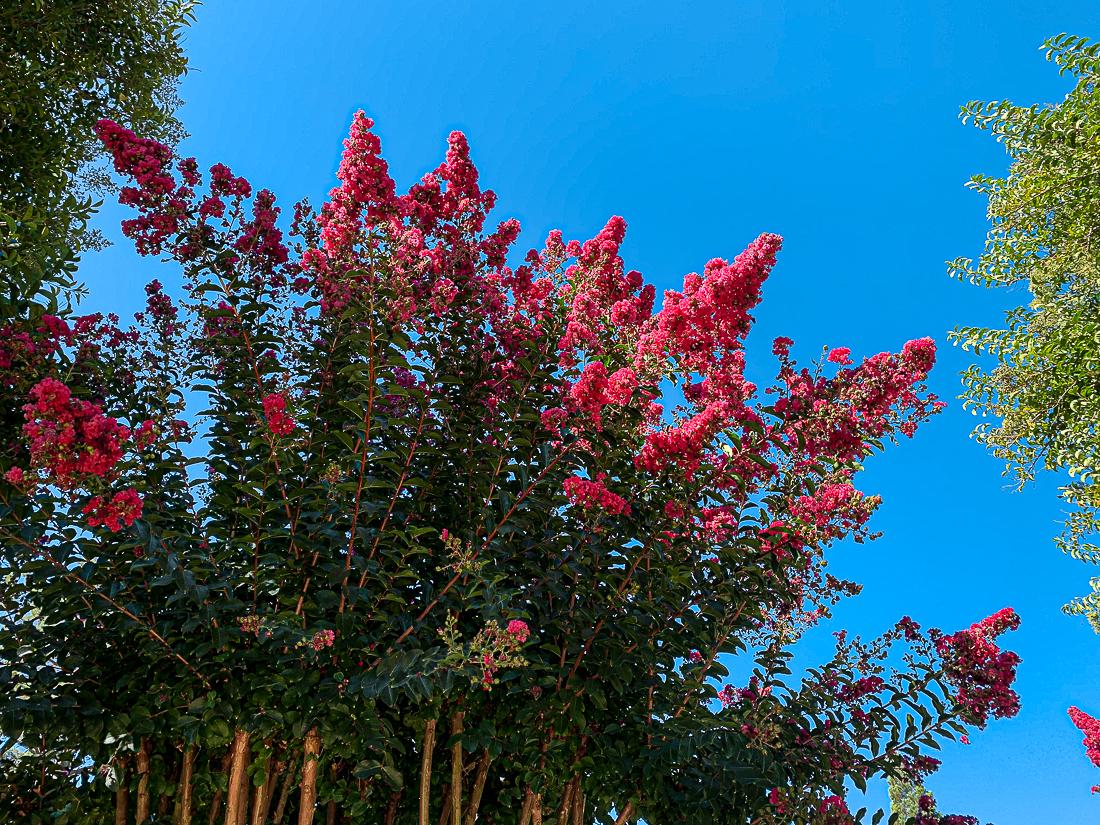 WW-Magenta flowers Alamo-7341